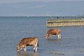 Rinder und Kormorane Bodensee copyright UMG.at.jpg