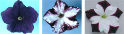 Example petunia plants in which genes for pigmentation are silenced by RNAi. The left plant is wild-type; the right plants contain transgenes that induce suppression of both transgene and endogenous gene expression, giving rise to the unpigmented white areas of the flower.
