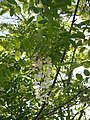 Robinia pseudoacacia-5-13-05.jpg