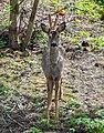 Roe deer Norway May 2019 (4) cropped.jpg