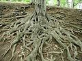 Roots of big old tree.jpg