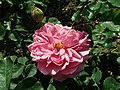 Rosa Princess Alexandra of Kent 2019-06-04 6075.jpg