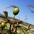 Rosa canina fruit (20).jpg