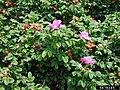Rosa rugosa fruit (50).jpg