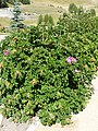 Rosa rugosa plant (03).jpg