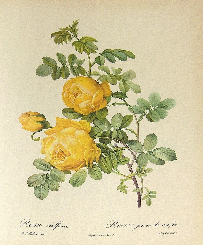 Rosa hemisphaerica wikipedia for Bouquet de fleurs wiki