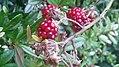 Rosales - Rubus fruticosus - 2.jpg