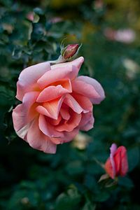 Rose, Zambra'93 - Flickr - nekonomania.jpg