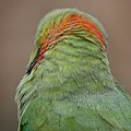Rose-ringed Parakeet (16410468518).jpg