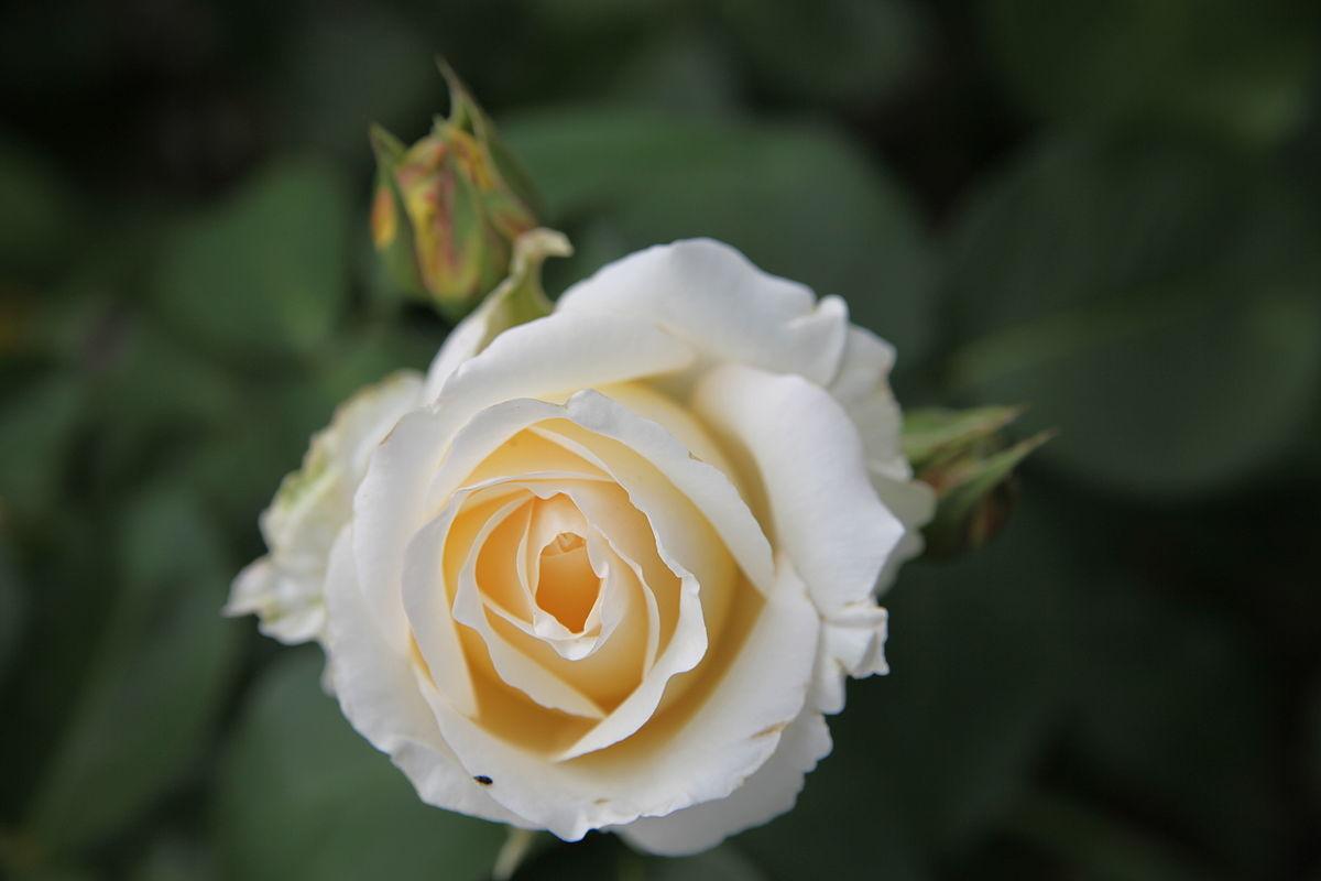 Rosa 'Frederyk Chopin' - Wikimedia Commons