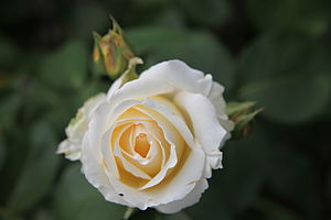 Rosa 'Chopin' - Image: Rose 'Chopin' MB01