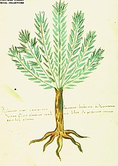 rosemary illustration from an italian herbal, circa 1500