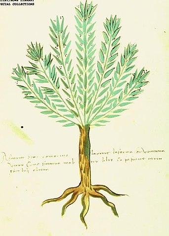 ローズマリーの木のイラスト