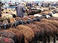 Rows of Sheep (41552421612).jpg