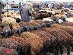 Rows of Sheep (41552421612).jpg
