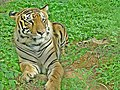 Royal Bengal Tiger ( Pantherea Tigris) at Bannerghatta National Park.jpg