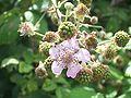 RubusFruticosus FlowerAndUnripenFruits 01.jpg