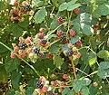 Rubus fruticosus 14 ies.jpg