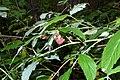 Rubus idaeus (8016825543).jpg