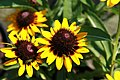 Rudbeckia hirta Sonora 1zz.jpg