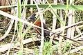 Ruddy Crake (Laterallus ruber) (7222532478).jpg