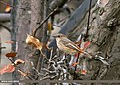 Rufous-backed Redstart (Phoenicurus erythronotus) (23714564680).jpg