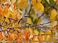 Rufous-backed Redstart (Phoenicurus erythronotus) (24890747397).jpg