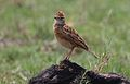 Rufous-naped Lark, Mirafra africana at Krugersdorp Nature Reserve, Gauteng, South Africa (30567921863).jpg