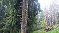 Rumanian Forest, Carpatos Mountains 9.jpg