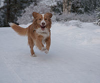Running Nova Scotia Duck-Tolling Retriever 2.JPG