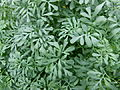 Ruta graveolens jardin des plantes.jpg