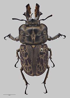 240px ryssonotus nebulosus amnz28355 dorsal