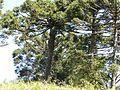 São João do Triunfo PR Brasil Araucaria angustifolia (3).jpg