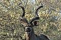 SA05477-Kudu.jpg