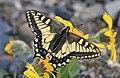 SWALLOWTAIL, OLD WORLD (Papilio machaon aliaska) (6-25-2016) denali highway, mile p13 pass, near paxson, alaska (7) (28788418100).jpg