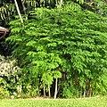 Saab-saab gi (Moringa oleifera).jpg