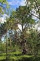 Sacrificial pine Markkina 2.jpg