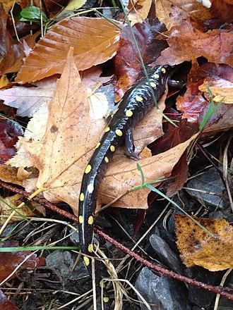 Bromont, Quebec - Image: Salamandre Tachete Mont Gale QC
