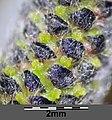 Salix purpurea sl27.jpg