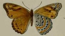 Sallya natalensis.JPG