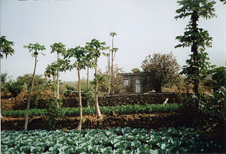 Agriculture in Cape Verde - Irrigated land in Salto, island of Fogo.