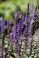 Salvia Flower - Flickr - nekonomania.jpg