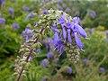 Salvia nutans 2016-05-31 2022.jpg