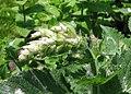 Salvia sclarea Szałwia muszkatołowa 2013-06-16 01.jpg