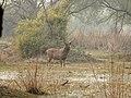 Sambar deer Rusa unicolor stag Bharatpur by Dr. Raju Kasambe DSCN2776 (25).jpg