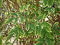 Sambucus nigra 4c.JPG