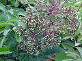 Sambucus nigra ssp canadensis SCA-04390.jpg