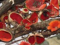 Sarcoscypha coccinea Kiev2.jpg