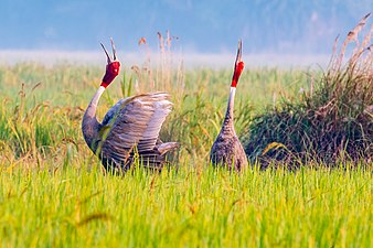 Sarus Crane Duet.jpg
