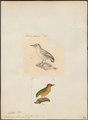 Sasia abnormis - 1700-1880 - Print - Iconographia Zoologica - Special Collections University of Amsterdam - UBA01 IZ18700025.tif